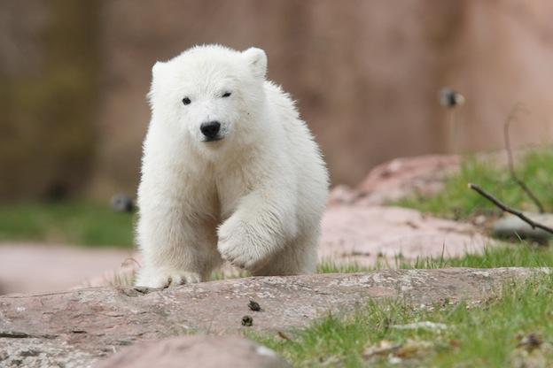 Polar bear breeding