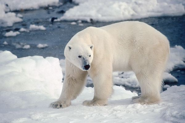 Large Male Polar Bear On The Shore Of Hudsons Bay