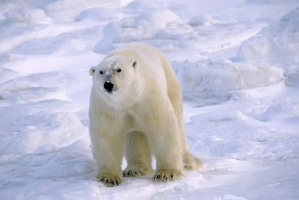 Large Mature Male Polar Bear Canadian Arctic