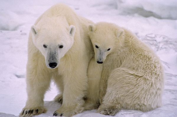 Polar Bear Cub Stays Close To His Mother