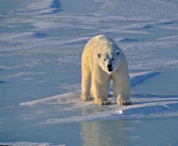 Polar Bear On Ice In Hudsons Bay