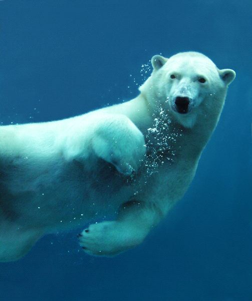 Close_up_a_un_oso_polar_bajo_el_agua_600