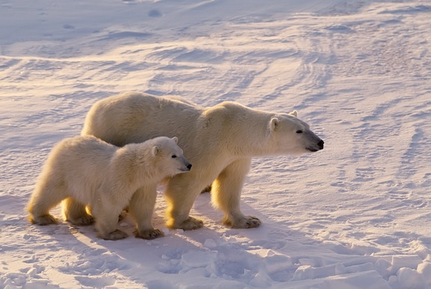 Polar bear reproduction facts