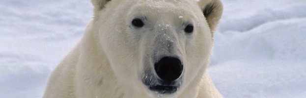 Polar Bears in Popular Culture