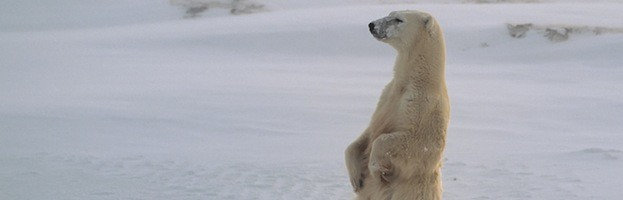 Polar Bear Endangered