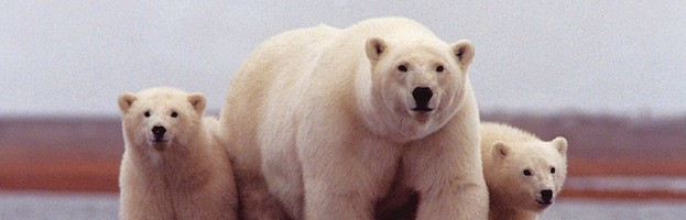 Polar Bears And Conservation Efforts
