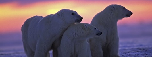 Facts about Polar Bears